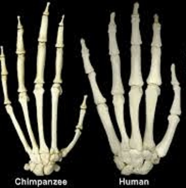 hands of chimp and human